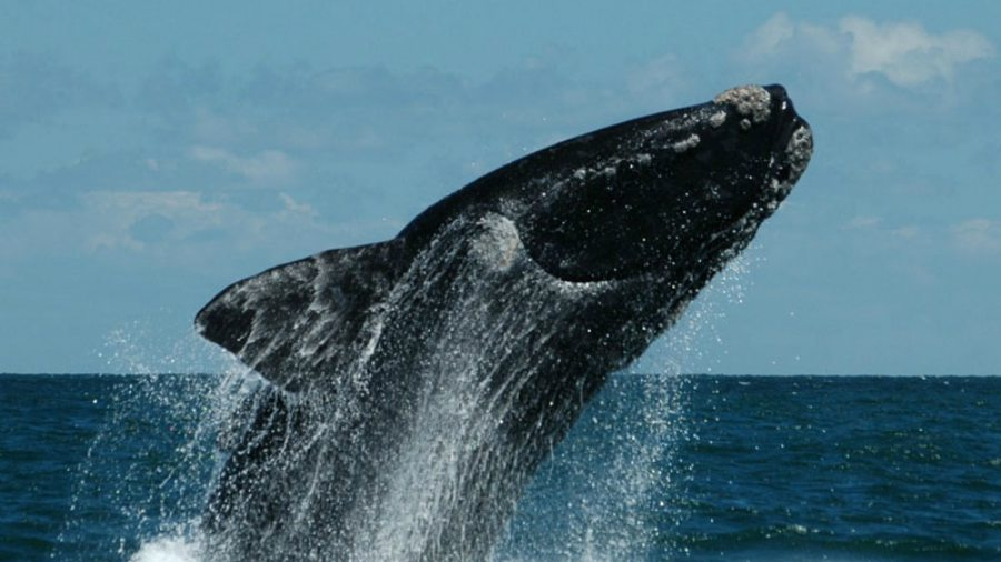 Video espect culo de ballenas francas se avista en la Noticias de espectaculos argentina