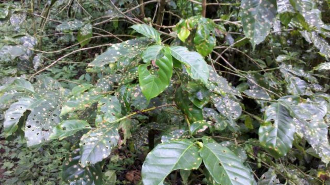 La roya cafetera se reproduce más fácilmente en las plantaciones muy húmedas. FOTO EDH / archivo