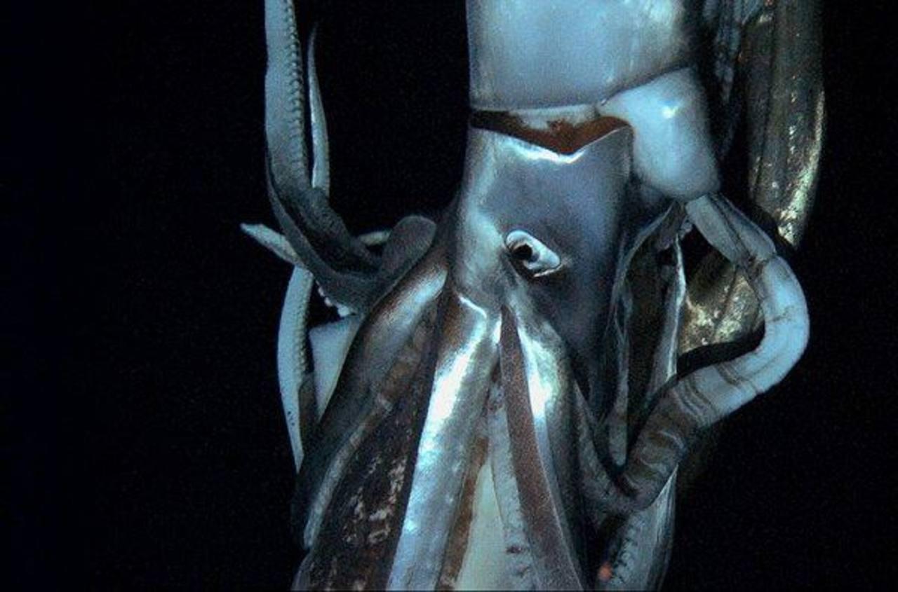 Graban en video a calamar gigante en el océano