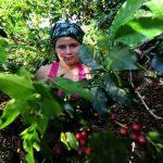 El año no pinta nada bien para los productores de café salvadoreños, que verán disminuida su cosecha, sus exportaciones, y por ende, sus ingresos económicos. Foto EDH/archivo