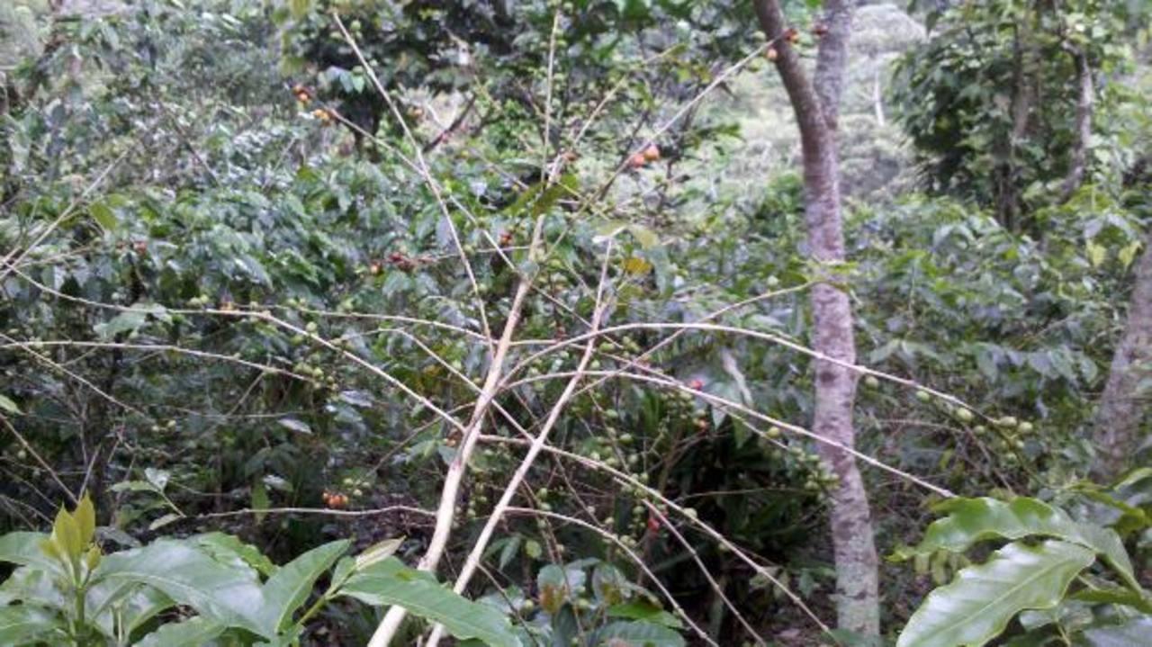 La roya está afectando las plantaciones cafeteras de toda Centroamérica. Foto EDH / archivo