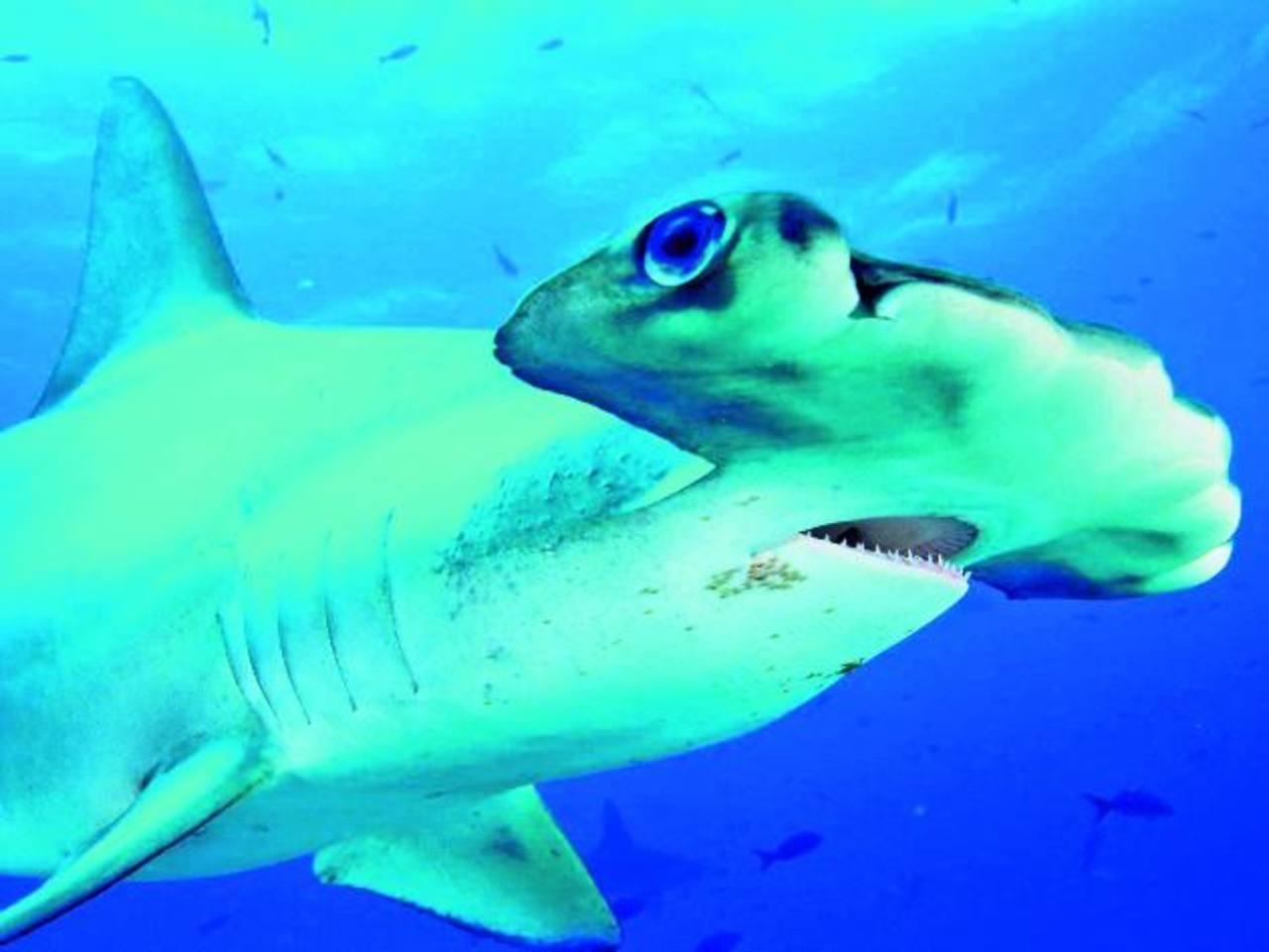 El tiburón martillo está en peligro debido a la sobrepesca empujada por el comercio de sus aletas. En el país, los diputados aprobaron un decreto que prohíbe la importación y exportación sin certificado. Foto EDH / archivo
