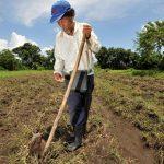 Según el Decreto 198, las compras de semilla certificada de maíz y frijol que haga el MAG para los paquetes agrícolas están exoneradas del pago del IVA. foto edh / mauricio cáceres