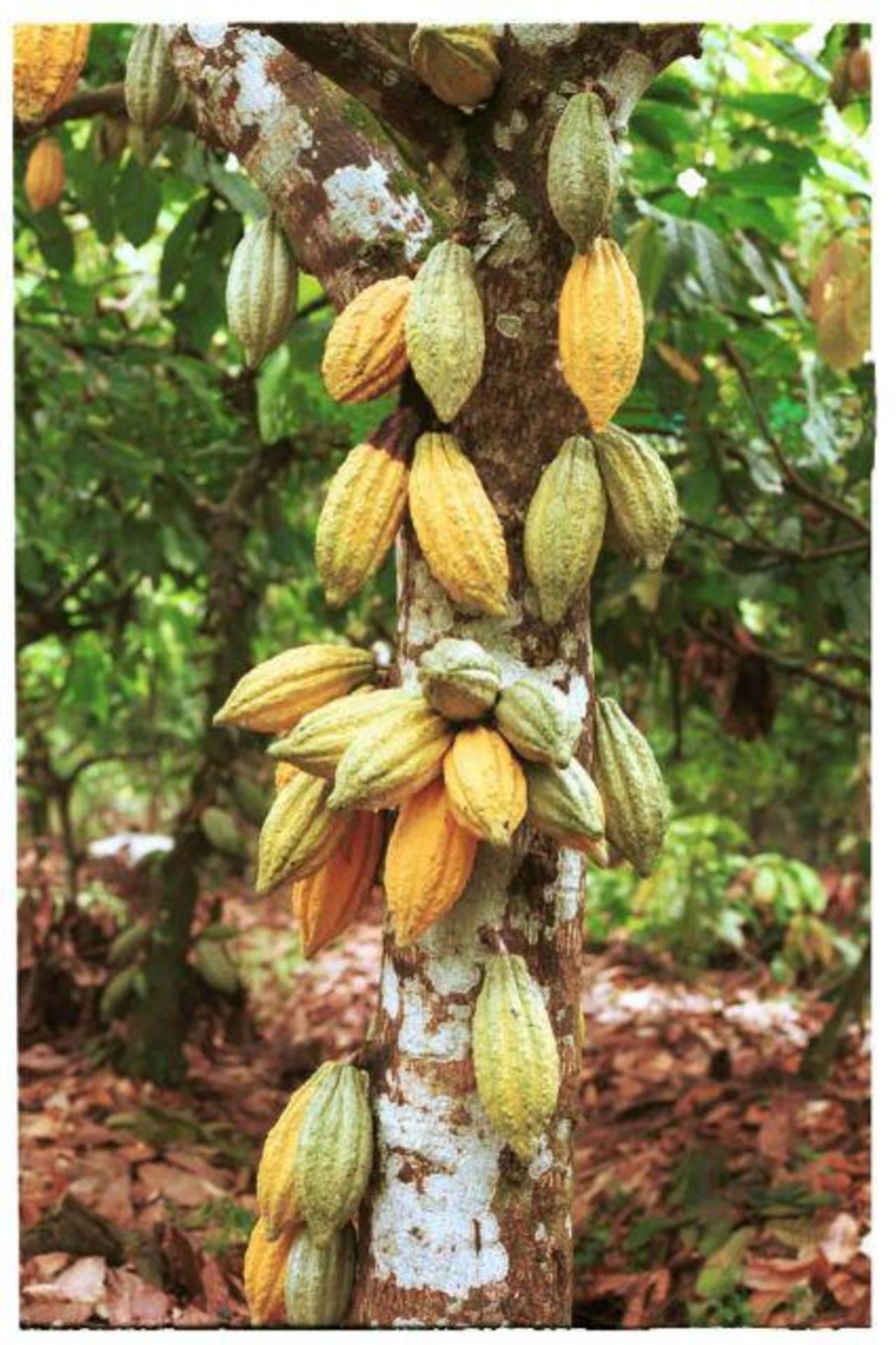 El cacao es atractivo, fácil de manejar y se desarrolla muy bien en zonas costeras. Muchos lo plantan para producir chocolate artesanal, otros lo exportan. foto edh / archivo