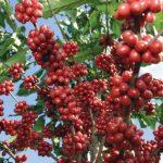 La APA estima que la producción de café ni siquiera llegará el millón de quintales este año. Foto EDH/archivo