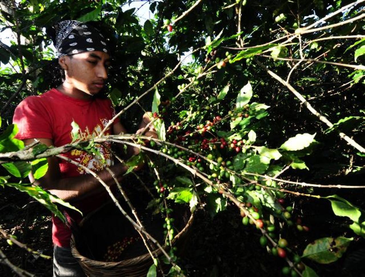 La asistencia técnica debe ser un eje importante en el combate contra la roya. foto edh / archivo