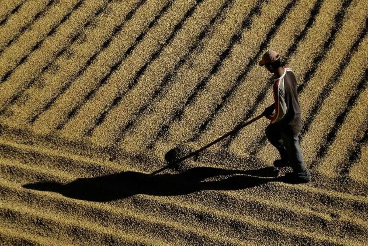Centroamérica tendrá menor capacidad de exportar café por ataque de roya. foto edh / archivo