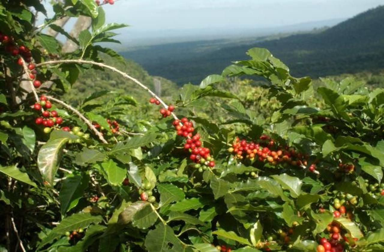 Los participantes podrán conocer variedades resistentes a la roya; además del potenciar que tienen los campos del café para potencial el turismo en la zona. Foto edh / Archivo