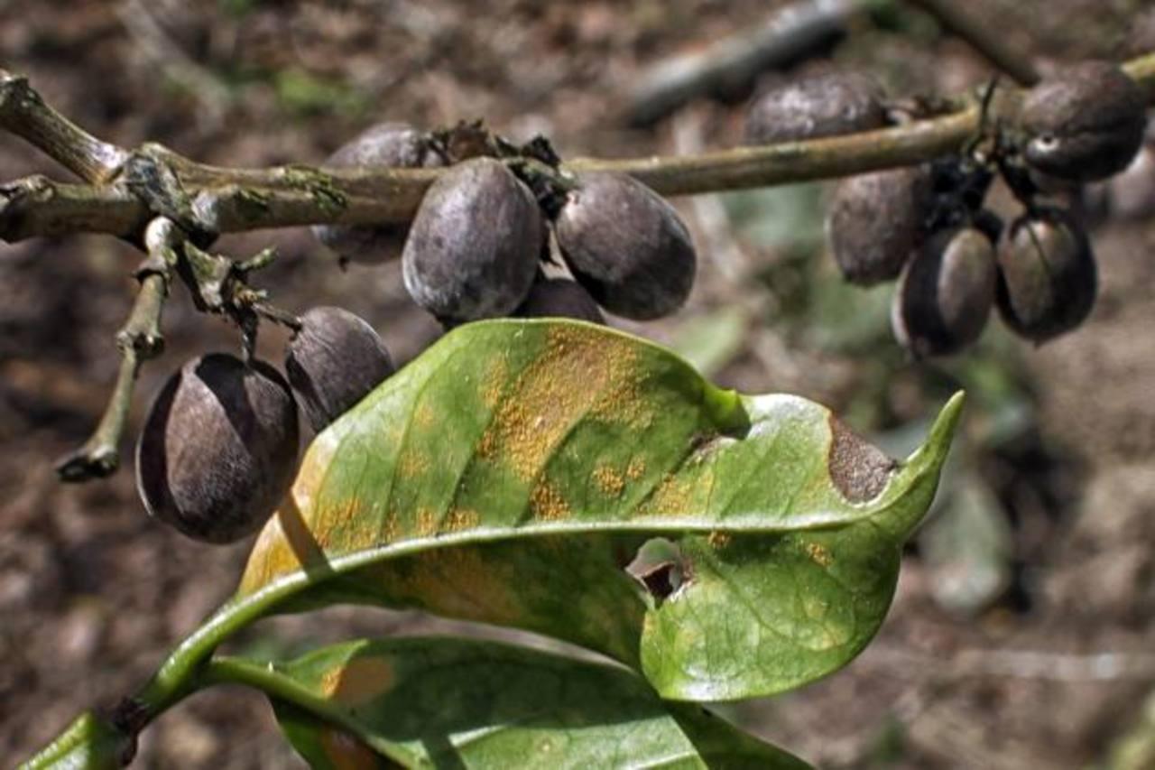 La roya pudre las hojas y bota el fruto. Foto EDH/Archivo