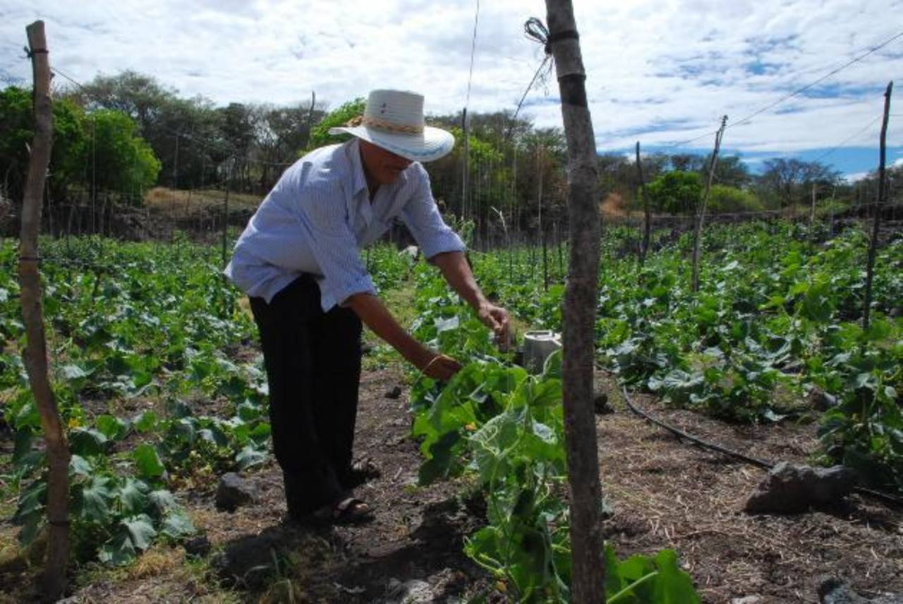 Combinar árboles con cultivos de alimento o la ganadería, podría ser una opción para facilitar alimentos a millones de personas en el mundo, según el organismo. foto edh /archivo