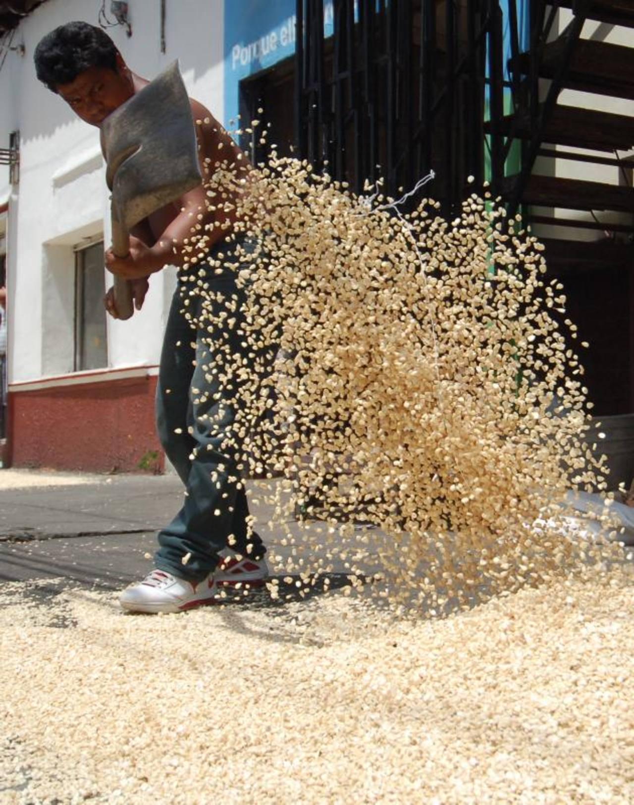 Hasta un 20 % baja el precio de quintal de maíz