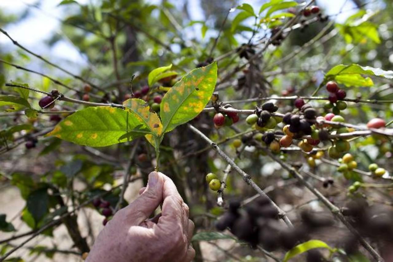 El 14 % del café mundial es producido en Centroamérica. foto edh / archivo