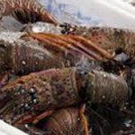 Prohíben pesca de langosta en Caribe centroamericano