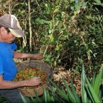 Algunas fincas de Chalchuapa aún están cortando para aprovechar la producción. Foto / EDH CRISTIAN DÍAZ