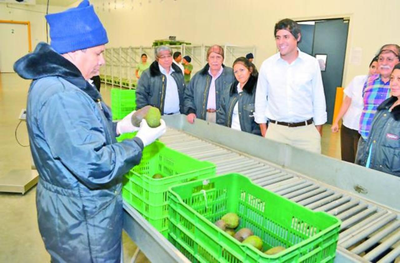 """Selectos promueve un plan de apoyo a productores nacionales, el cual se denomina: """"Cultivando Oportunidades"""", con base en el cual eleva sus compras de aguacate. Foto edh / mario díaz"""