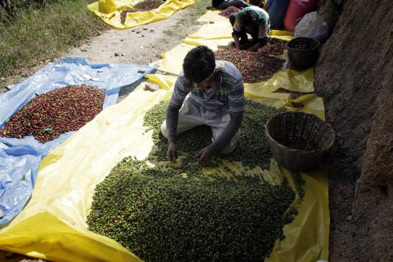 El fruto y el cafeto dañado deben eliminarse para limitar la expansión del hongo. foto edh