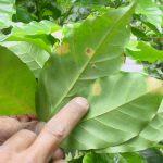 En El Salvador aún esperan los fungicidas. Foto edh/archivo
