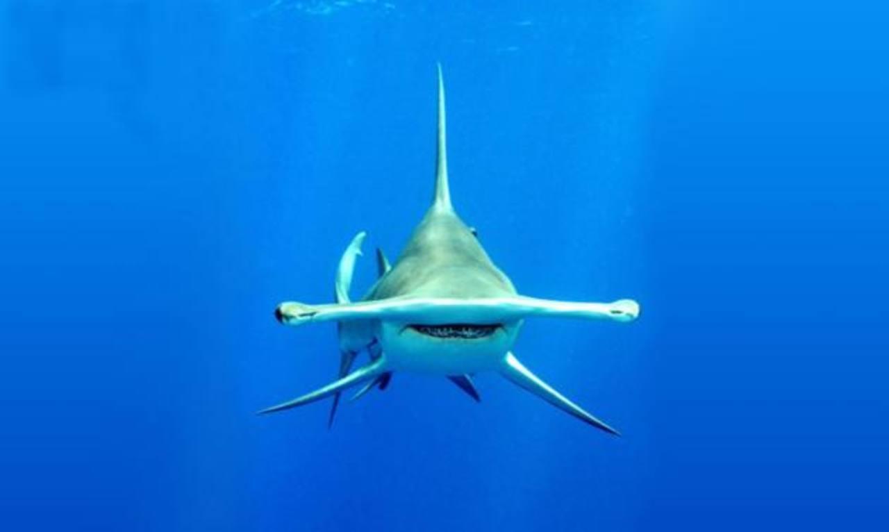 Polémica por tiburón martillo