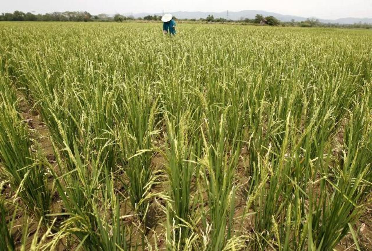 Hay capacidad exportadora, dicen los productores de arroz. Foto EDH/ archivo