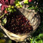 La roya golpea fuertemente a las plantaciones. Foto edh