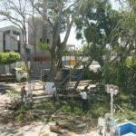 Comuna se desliga de poda de árboles centenarios