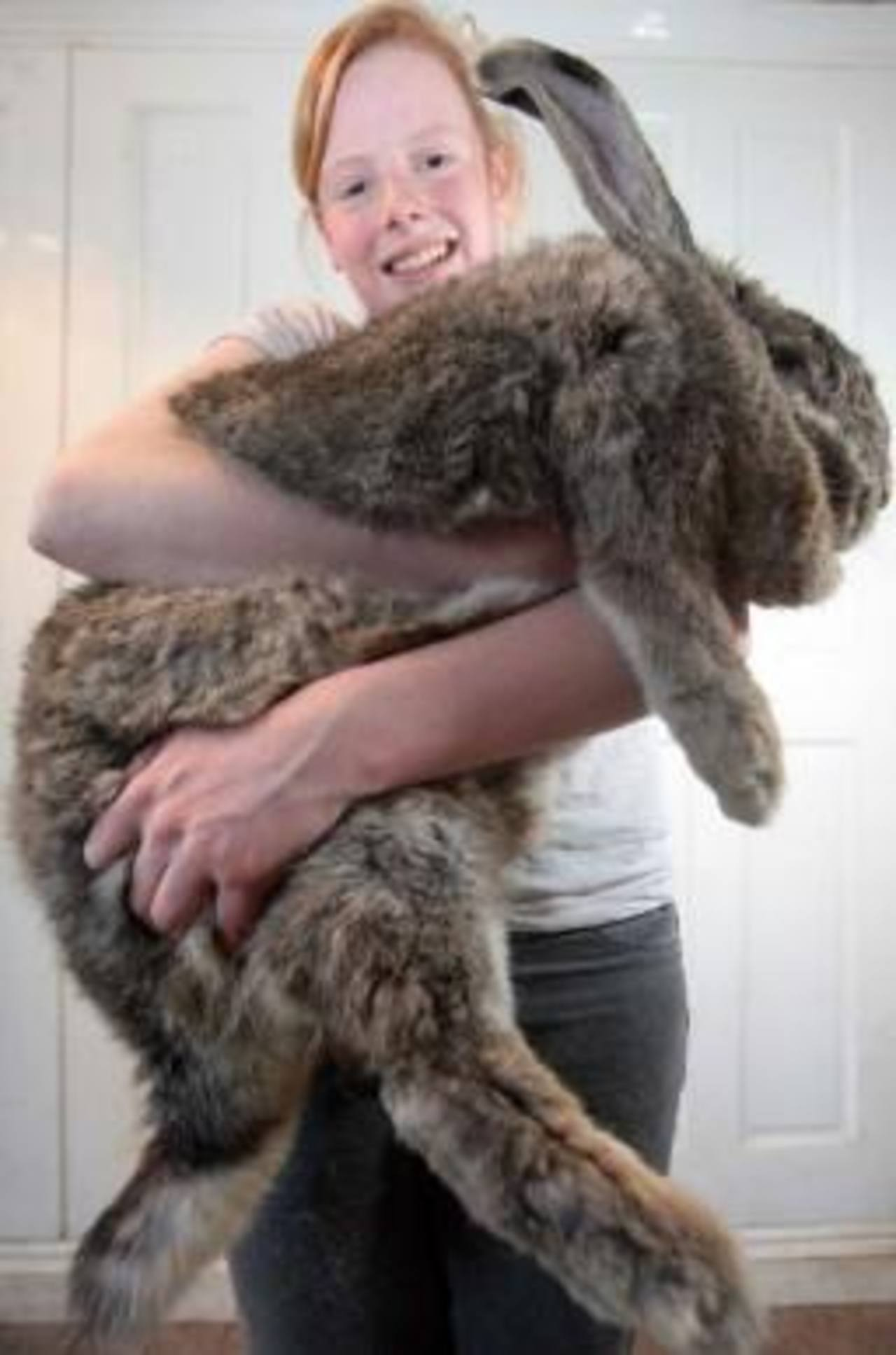 Ralph, el conejo que pesa más de 50 libras