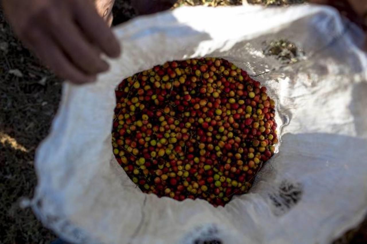La plaga de la roya ha afectado las plantaciones cafeteras.