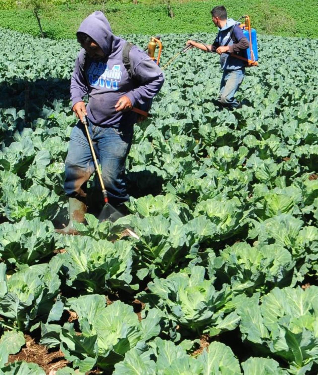 Los sembradíos brindan una vista espectacular. Las hortalizas que más se cultivan son el repollo y la lechuga. Los hostales ofrecen a los turistas recorridos por los cultivos.