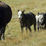 La falta de lluvias ha afectado grandes extensiones de tierra en Estados Unidos, malogrando pastizales y debilitando al ganado, lo que ha provocado graves pérdidas. Foto edh /Archivo