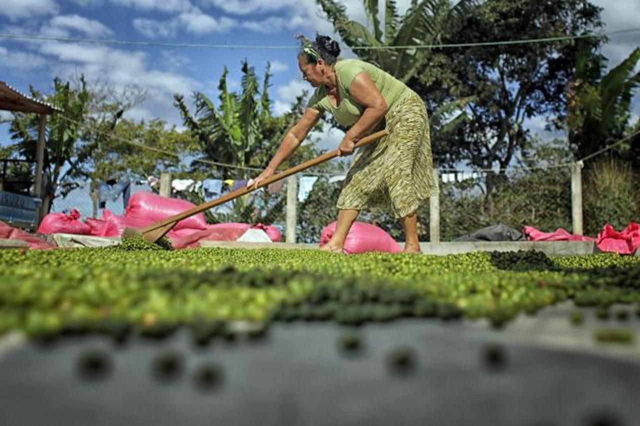 Según informes oficiales de las 400 mil manzanas cultivadas en los 15 departamentos del país el 25 por ciento está afectada por la plaga de la roya. Foto EDH /archivo