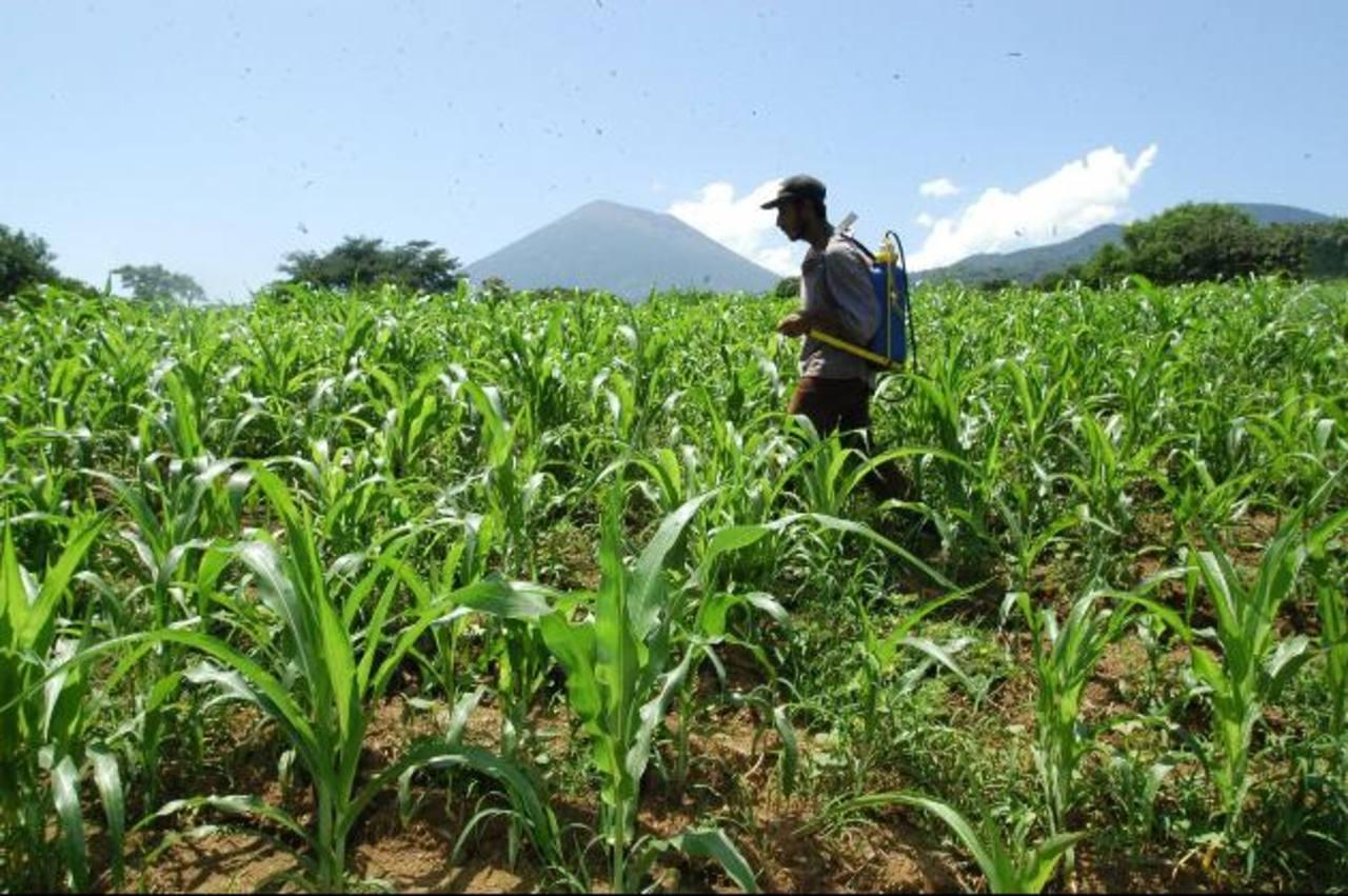 El Gobierno espera aumentar en 3 millones de quintales la cosecha de maíz. foto edh /archivo