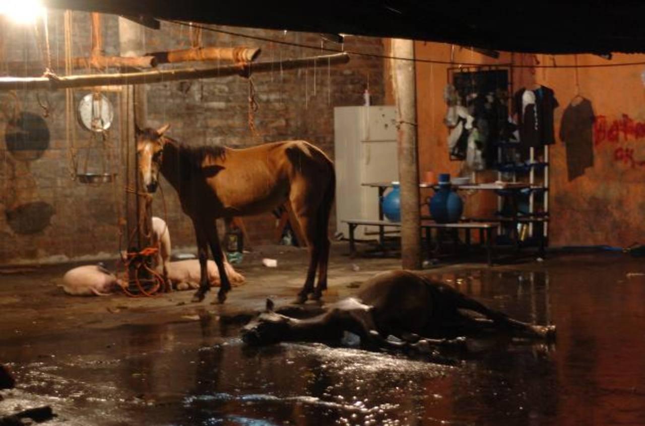 La Policía decomisó abundante cantidad de carne de caballo y 40 animales que iban a ser sacrificados. Foto EDH / Jorge Reyes