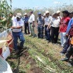Agricultores verifican una parcela de maíz cultivada con el nuevo híbrido. edh/douglas urquilla