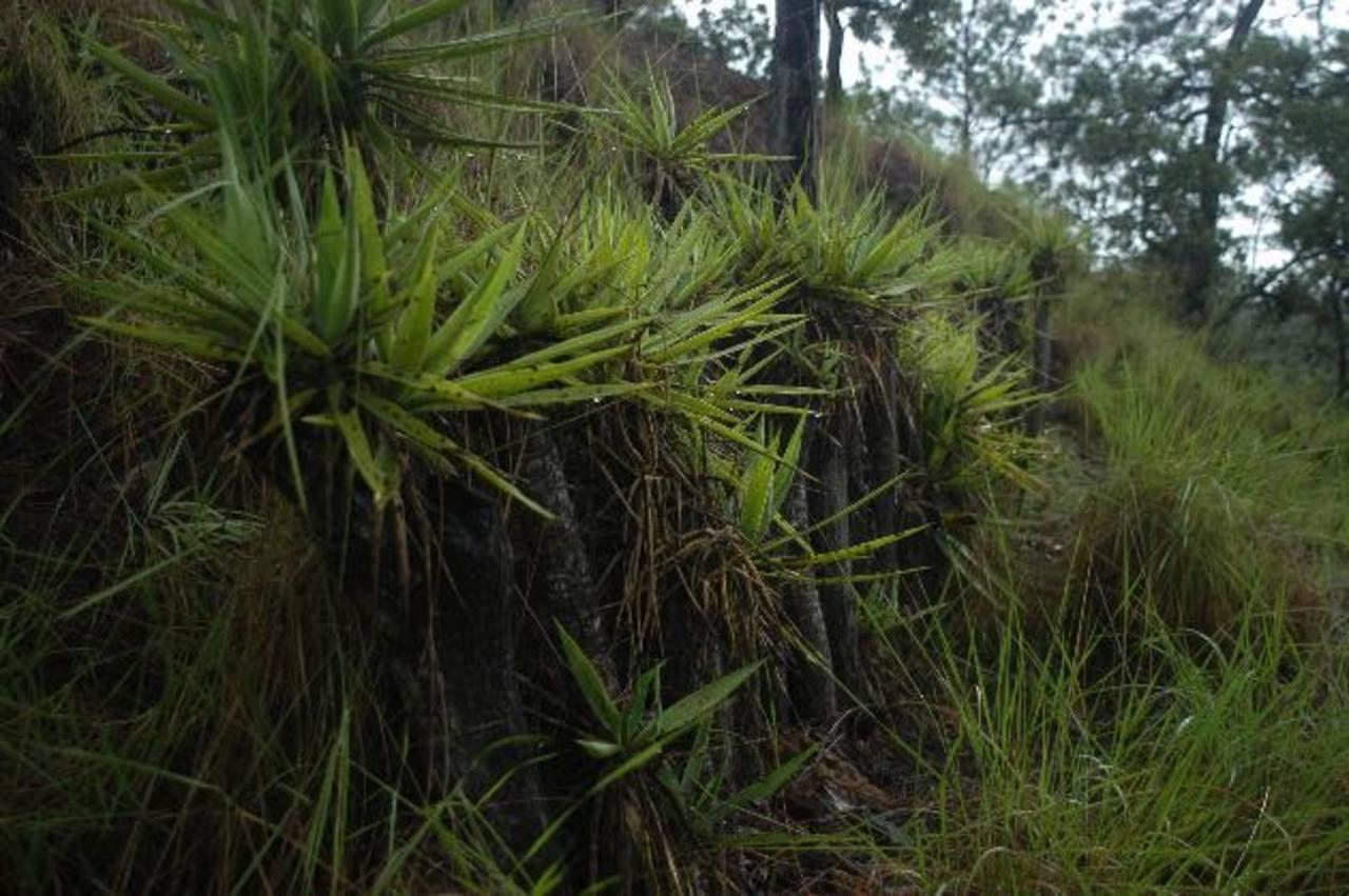 Izote y piña pueden ser aprovechados para detener la erosión. En pocos años verá el cambio en la calidad del suelo y en sus cosechas. foto edh / archivo