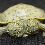 Nace tortuga de dos cabezas en zoológico de EE.UU.