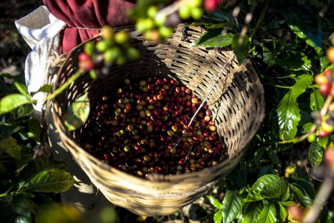 Consumo de café aumentará modestamente. Foto EDH / archivo