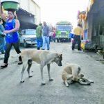 Aparte de representar un problema de salud, estos animales abandonados provocan insalubridad en la ciudad, afectando la imagen y el turismo. FOTO EDH/M. Jaco