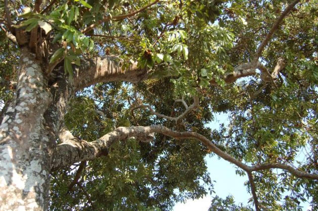 El paterno, igual que otros árboles, no necesita de grandes cuidados y se aprovechan frutos y madera. Foto edh / Archivo