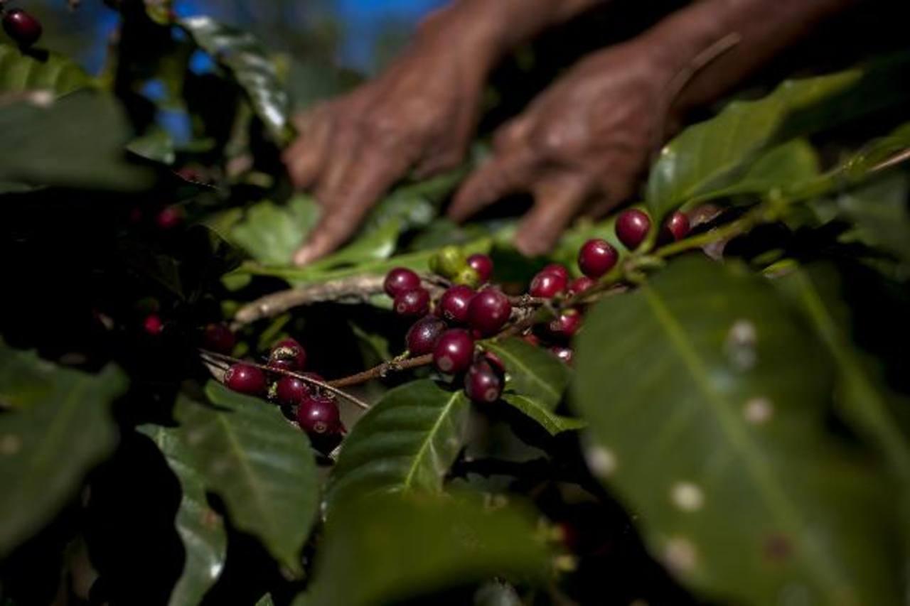 Exportación de café se reduce en $73.3 millones