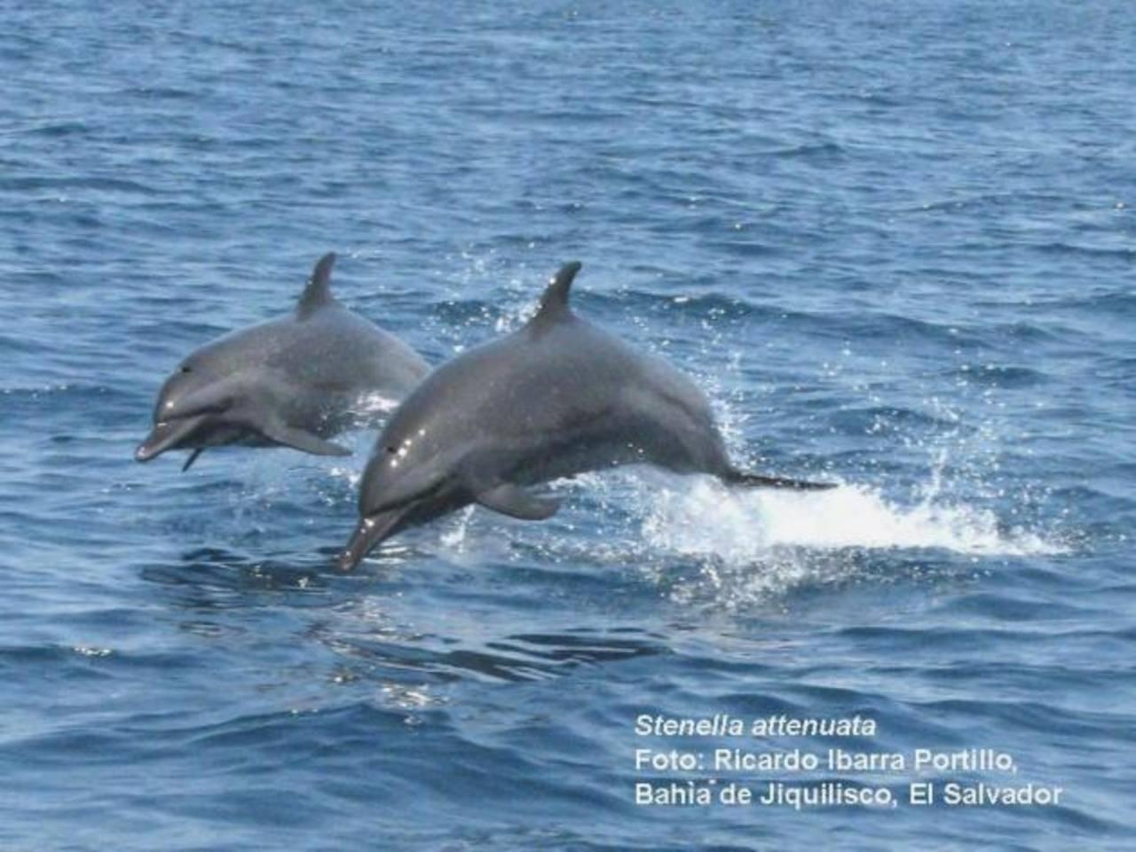 La Bahía de Jiquilisco, en Usulután, es otro punto del país visitado por delfines.