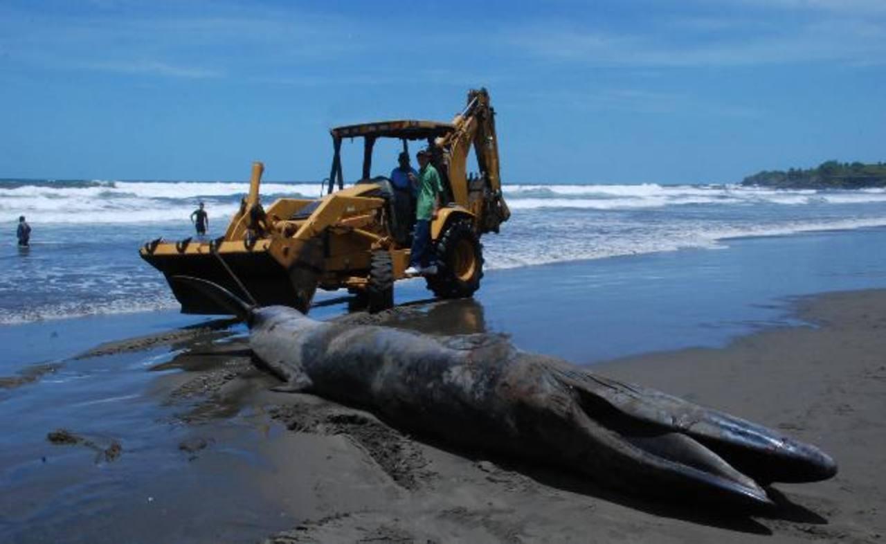 El ballenato que pereció en la playa El Cuco medía seis metros con 25 centímetros, según técnicos del MARN. Fotos EDH / carlos segovia