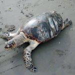 El avanzado estado de descomposición de la tortuga no permitió determinar la causa de su muerte. Foto EDH / cortesía Megan Bethege