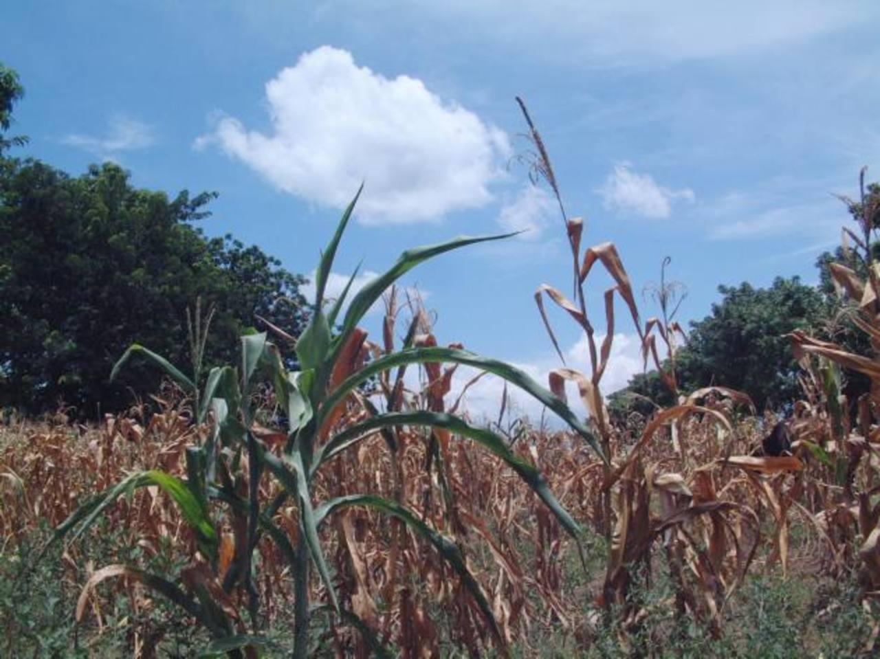 La falta de lluvias atrasó además la siembra postrera. La harán a fines de mes. Foto EDH/archivo
