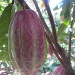 El cacao, un fruto que a partir del tercer año puede producir hasta por 30 o 40 años, dependiendo del cuido. Foto edh/archivo