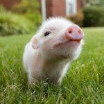 Arrestan a pareja por muerte de cerdo