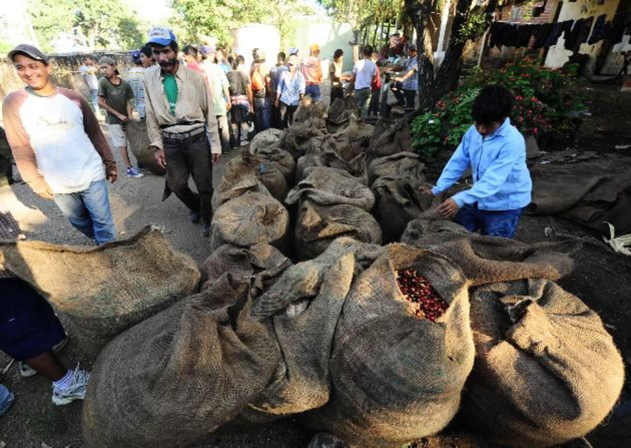 La baja producción de café ha disminuido la contratación de jornaleros en las fincas cafeteras. foto edh / archivo