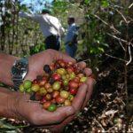 La roya ha afectado buena parte del café nacional. edh/archivo