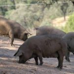 """Cerdo """"endemoniado"""" estaría matando vacas en Colombia"""