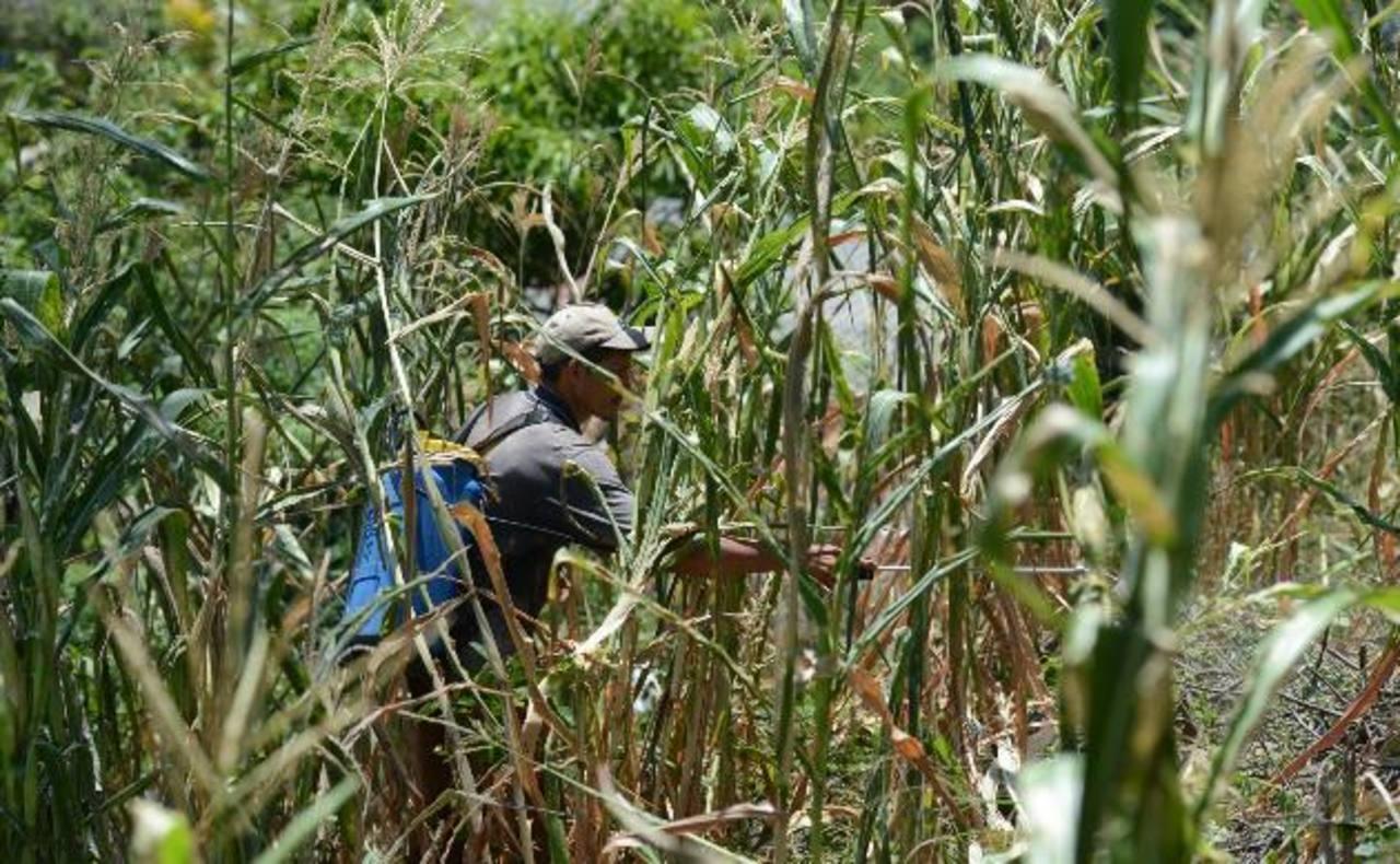 La zona oriental del país fue la más afectada por la sequía. Dejó de llover por tres semanas consecutivas. foto edh/douglas urquilla