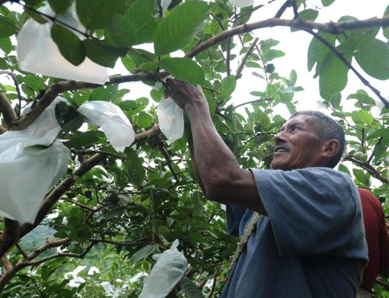 Con el programa Tierra Fértil, Walmart México y Centroamérica ha logrado generar más empleos agrícolas. Este agricultor cubre cada una de las guayabas para lograr un mejor rendimiento de la cosecha. edh /marlon Hernández